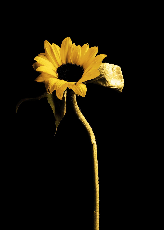 Nick's Sunflower 250ml