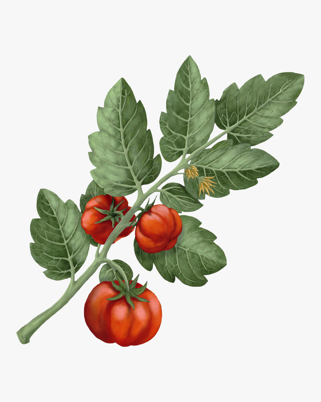 Carrière Frères Lycopersicon Esculentum Tomato Candle 2
